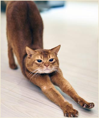 cat stretching lovely cat yoga